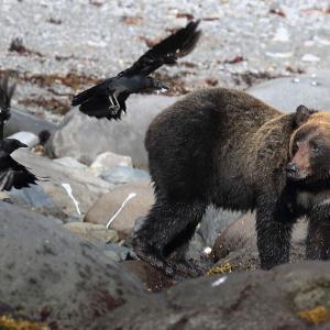 水辺に現れたヒグマ