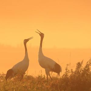 朝霧の中の鳴き合い