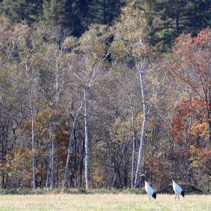 白樺林とタンチョウ