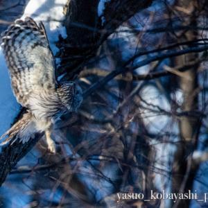 早めの狩に出たエゾフクロウ