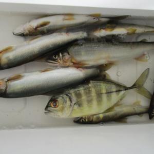 こんな意外な魚が友釣りに( *´艸`)