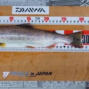貴志川7/11㊐ 鮎も尺アマゴも釣れています!