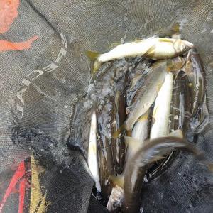 【有田川】昨日の鮎釣りの釣果訂正!