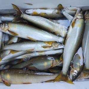 四万十川の鮎釣り2日目