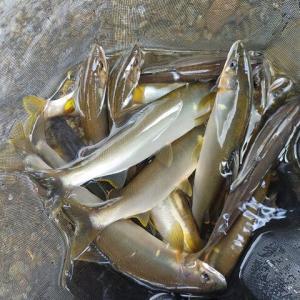 仁淀川の支流で短時間釣行(*'ω' *)
