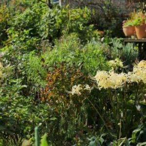リコリス咲く秋の庭
