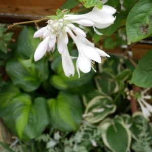 猛暑の中の白い花