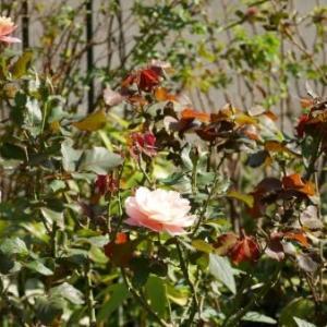 秋のバラ仕事 1~撤去と植え付け