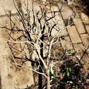 ライラックが枯れた後に植えた花