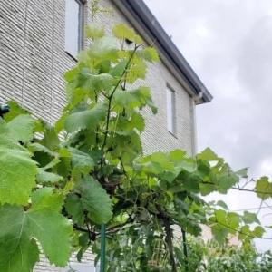 ブドウの成長とデッキ階段のペンキ塗り