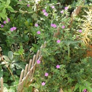 ゲンノショウコの風景と牡丹咲きシュウメイギク