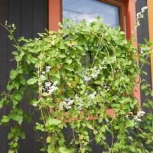ナツユキカズラと秋の花