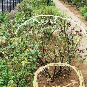 公園でヒガンバナ科の開花始まる