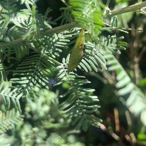 ミモザでモンキチョウがたくさん孵りました✨