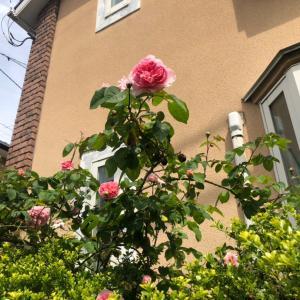 今日のお庭は薔薇満開です✨久しぶりの母の日プレゼント