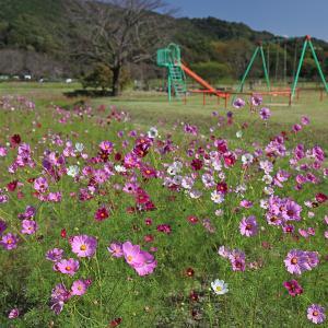 19.10.13:金立公園でコスモス散策2
