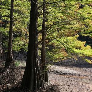 19.11.02:落羽松の森再び1