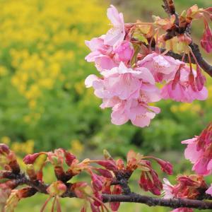 2020.02.08:福ふくの里で早咲きの菜の花5-完