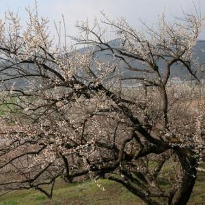 2020.02.10:早咲きの梅を求めて牛尾梅林1