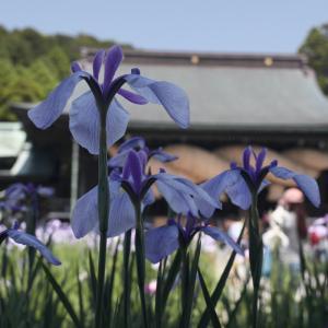 20.06.07:宮地嶽神社の花菖蒲1
