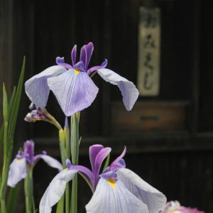 20.06.07:宮地嶽神社の花菖蒲3