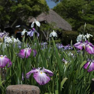 20.06.07:宮地嶽神社の花菖蒲5