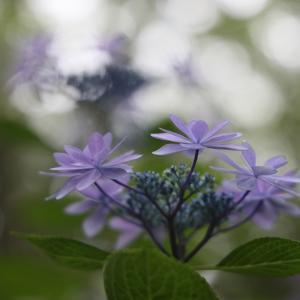 20.06.14:筥崎宮で紫陽花散策3