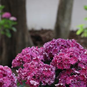 20.06.14:筥崎宮で紫陽花散策4