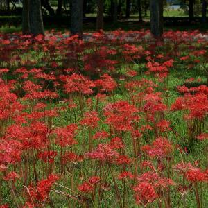 20.09.13:海の中道海浜公園で、早咲きの彼岸花1