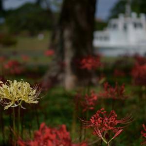 20.09.13:海の中道海浜公園で、早咲きの彼岸花3