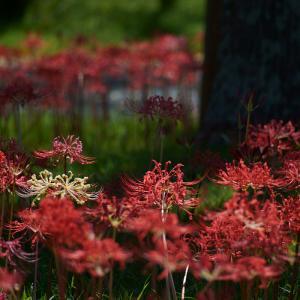 20.09.13:海の中道海浜公園で、早咲きの彼岸花4
