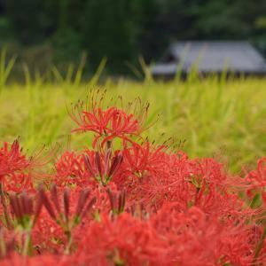 20.09.19:佐賀大和、山里の彼岸花