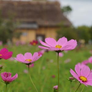 20.10.11:平原歴史公園のコスモス1
