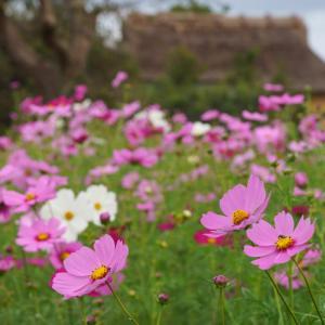 20.10.11:平原歴史公園のコスモス2