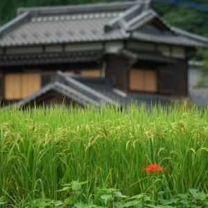 21.09.12:金武、背振、富士町方面、彼岸花散策4