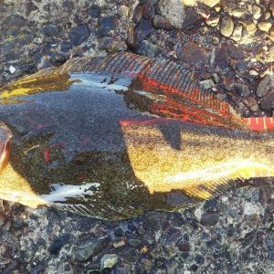 11月・外房 50UPヒラメを泳がせで釣り上げる!