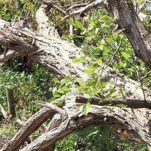 ハリエンジュ    そしてまた、あたたかい胸       千葉県市川市行徳・野鳥の楽園