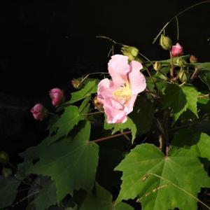 フヨウ    花の盛りが遠くなり、マタライネン     東京都江戸川区小川の辺