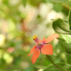 アカバナルリハコベ     時空を超えるフシギウツクシイ赤い船    千葉県市川浦安アスファルト脇植物園・自宅