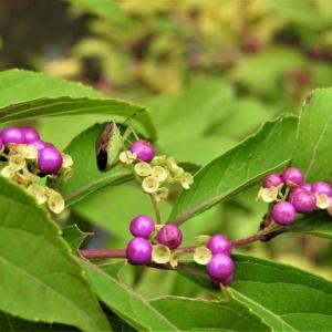 コムラサキ      実がこぼれるとガクが咲く       東京都江戸川区小川の辺