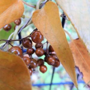 サオトメカズラ     植物たちへの感謝をことばにする、できるだけうつくしいことばで       東京都江東区都立の森