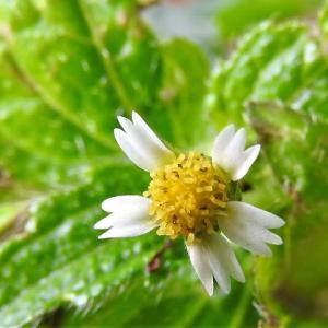 ハナコゴメギク(花小米菊)   植物たちへの感謝をことばにする、できるだけうつくしいことばで   東京都江東区都立の森