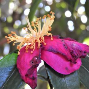 ツバキ    迷わない、咲きオワリこそ、うつくしい        東京都江東区都立の森