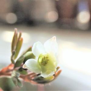 ヒメウズ    花も実も葉もうつくしい     千葉県市川浦安アスファルト脇植物園・自宅