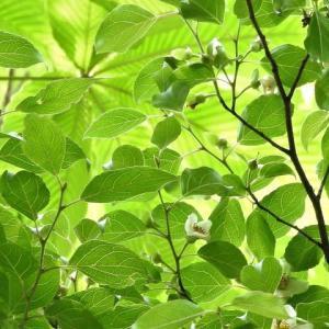 ヒメシャラ   聖なる樹     東京都江東区都立の森