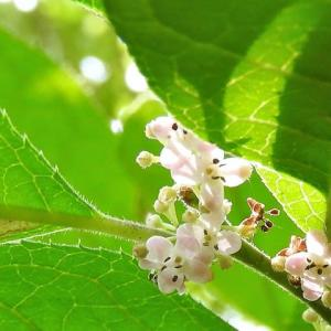 ウメモドキ    花も、実も、葉も愛くるしい      東京都江東区都立の森