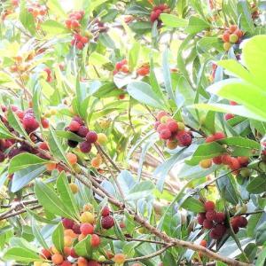ヤマモモ    豊かな森を染める      千葉県市川市行徳・野鳥の楽園