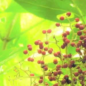 ニワトコ    魔法が熟して、夏のハジマリ      千葉県市川市行徳・野鳥の楽園
