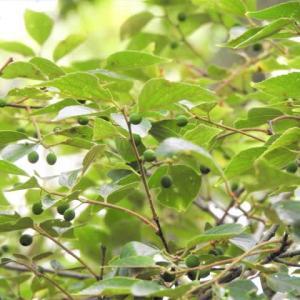 エノキ    夏の樹            千葉県市川市行徳・野鳥の楽園