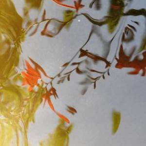 ヒメヒオウギズイセン   埃の匂いと蜜の味       東京都江戸川区小川の辺